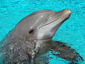 Close_up_dolphin